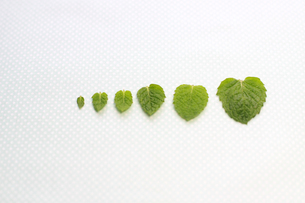 ミントの葉の写真素材 [FYI00217793]