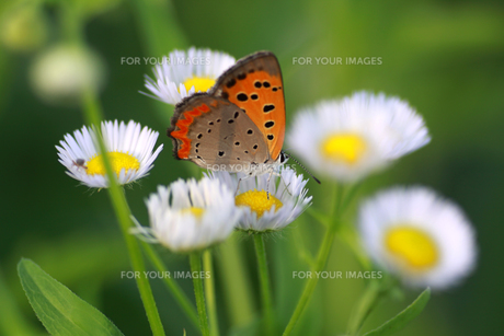 花に止まる蝶の写真素材 [FYI00217799]