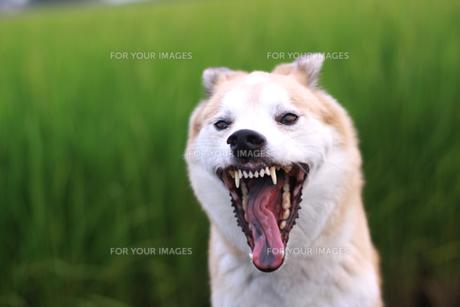大きく口を開ける犬の写真素材 [FYI00217807]