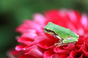 花びらの上に乗るカエルの写真素材 [FYI00217819]