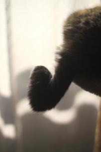 猫の鍵尻尾の素材 [FYI00217822]