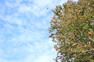 秋空と紅葉した木の写真素材 [FYI00217823]