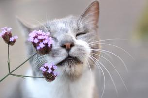 目を閉じる猫と花の写真素材 [FYI00217826]
