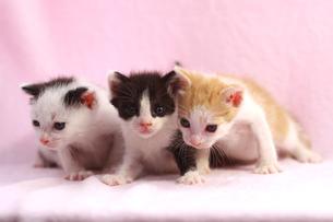3匹の子猫の兄妹の写真素材 [FYI00217872]
