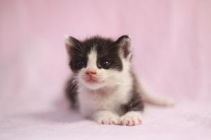 白黒模様の子猫の素材 [FYI00217874]