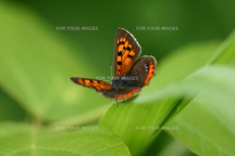 葉に止まる蝶の素材 [FYI00217907]