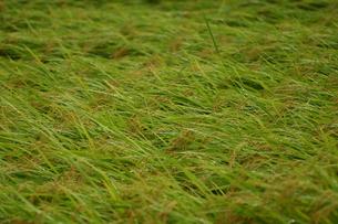 台風で倒れた稲の写真素材 [FYI00217919]