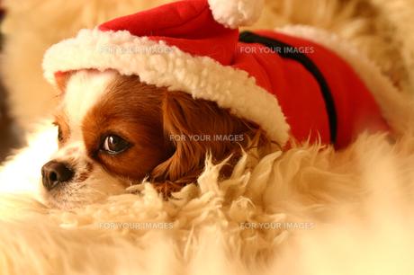 サンタクロースの衣装の犬の素材 [FYI00217934]