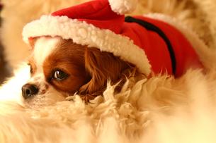 サンタクロースの衣装の犬の写真素材 [FYI00217934]