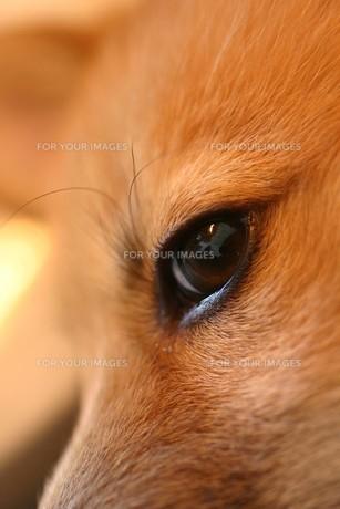 子犬の目の写真素材 [FYI00217992]