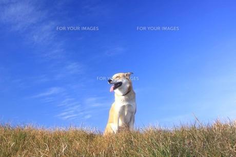 青空と笑顔の犬の写真素材 [FYI00218004]