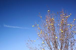 青空と花梨の実の写真素材 [FYI00218017]