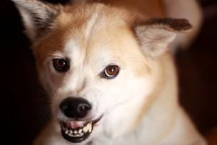 歯を剥いて怒っている犬の写真素材 [FYI00218031]