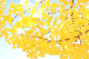 イチョウの葉の写真素材 [FYI00218048]