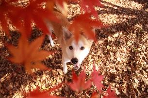 笑顔で見つめる犬と紅葉の写真素材 [FYI00218058]