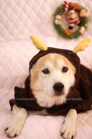 トナカイの衣装を着た犬の素材 [FYI00218064]