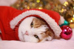 サンタクロースの衣装を着た猫の写真素材 [FYI00218074]