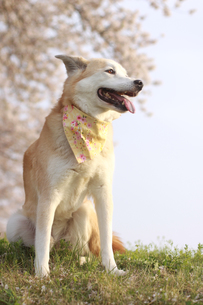 満開の桜と笑顔の犬の写真素材 [FYI00218097]