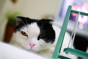 まどろむ猫の写真素材 [FYI00218129]