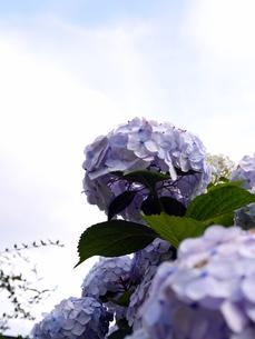 紫陽花の写真素材 [FYI00218144]