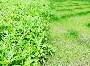 笹の葉と芝の写真素材 [FYI00218163]