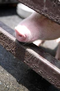 豚の鼻の写真素材 [FYI00218173]