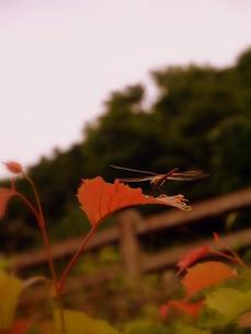木の葉にとまったトンボの写真素材 [FYI00218178]