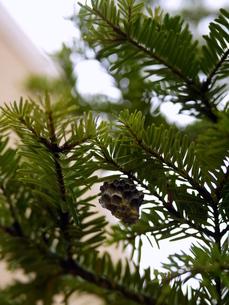 スギの木とハチの巣の写真素材 [FYI00218179]