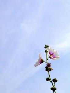 空に伸びたムクゲの写真素材 [FYI00218194]