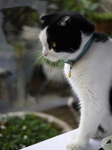 窓の外を見つめる猫の写真素材 [FYI00218203]