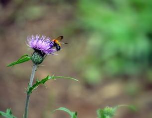アザミとミツバチの写真素材 [FYI00218232]