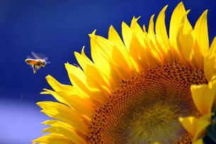 ひまわりとミツバチの写真素材 [FYI00218237]