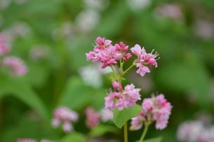 赤ソバの花の写真素材 [FYI00218246]