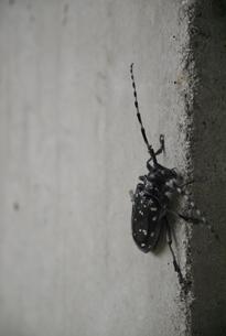 ゴマダラカミキリの写真素材 [FYI00218253]