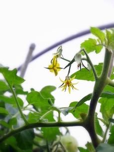 黄色のトマトの花の写真素材 [FYI00218254]