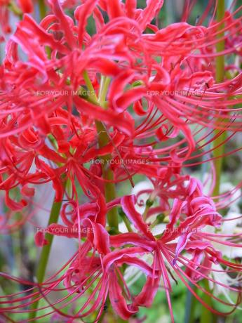 赤く燃える彼岸花の写真素材 [FYI00218298]