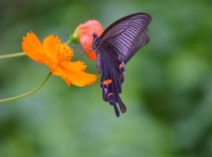 キバナコスモスの蜜を吸うクロアゲハの写真素材 [FYI00218303]