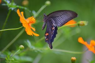 キバナコスモスの蜜を吸うクロアゲハの写真素材 [FYI00218310]