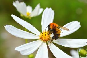 コスモスの花の蜜を吸うミツバチの写真素材 [FYI00218314]