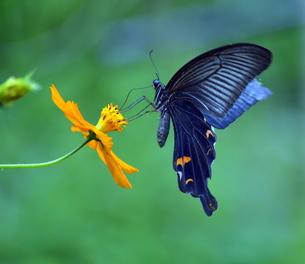 キバナコスモスの蜜を吸うクロアゲハの写真素材 [FYI00218321]