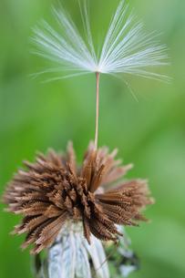 タンポポの綿毛の写真素材 [FYI00218590]