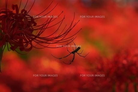 彼岸花と蜘蛛の写真素材 [FYI00218601]