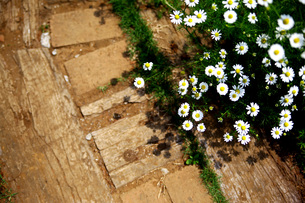 白い花の写真素材 [FYI00219310]
