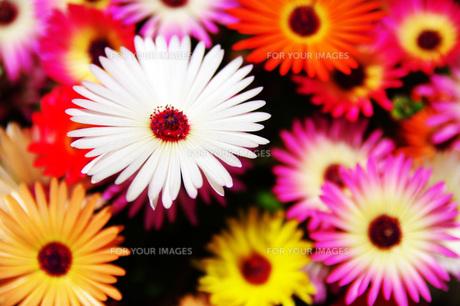 花の素材 [FYI00219321]