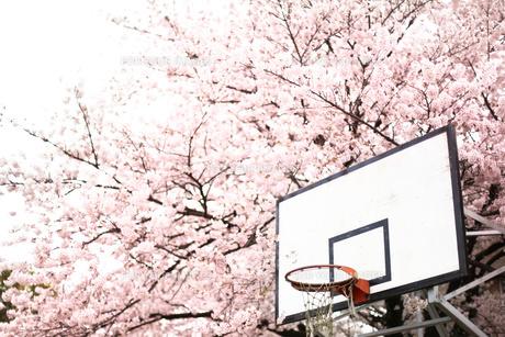 桜とバスケットゴールの写真素材 [FYI00219348]