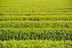 茶畑の写真素材 [FYI00219420]