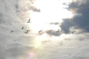 雨雲の切れ目を飛ぶ白鳥たちの素材 [FYI00219495]