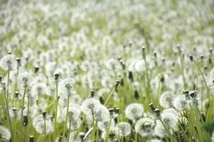 タンポポの綿毛群生の写真素材 [FYI00219648]