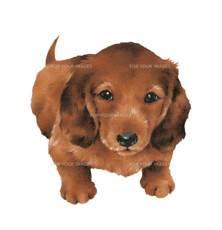 かわいい子犬の写真素材 [FYI00219665]