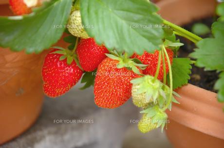 植木鉢で栽培されるイチゴの写真素材 [FYI00219675]